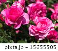 咲く バラ科 植物の写真 15655505