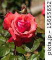 咲く バラ科 植物の写真 15655652