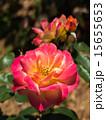 咲く バラ科 植物の写真 15655653