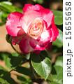 咲く バラ科 植物の写真 15655658