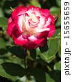 咲く バラ科 植物の写真 15655659