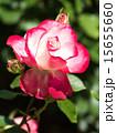 咲く バラ科 植物の写真 15655660