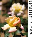 咲く バラ科 植物の写真 15656145