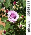 咲く バラ科 植物の写真 15656148