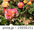 咲く バラ科 植物の写真 15656151