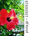 南国の花 ハイビスカス 15656919