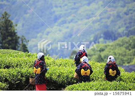 茶摘み風景 15675941