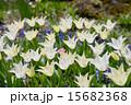 白いチューリップ 15682368