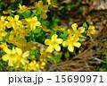 山吹 山野草 バラ科の写真 15690971
