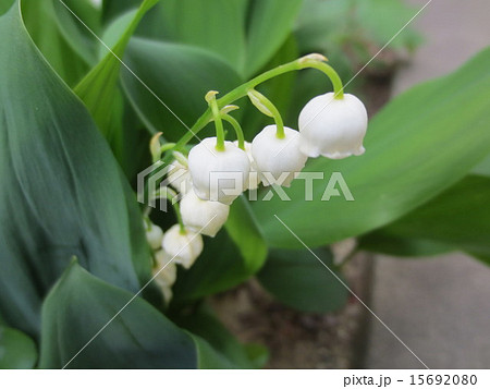 すずらん / Lily of the valley 15692080