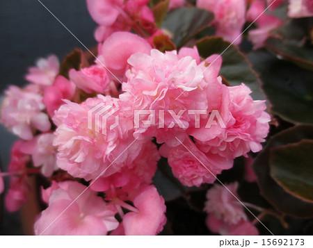 ひらひら薄ピンクの花びら 15692173