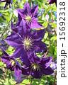 クレマチス つる植物 紫色の写真 15692318