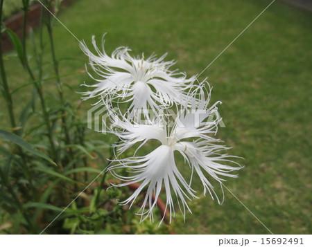 なでしこ 白 こまやかな花びら / Dianthus 15692491