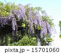 初夏にしだれて咲く紫色の花はフジの花 15701060