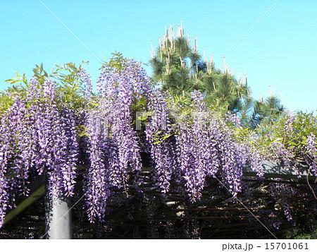 初夏にしだれて咲く紫色の花はフジの花 15701061