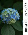 6月 アジサイ 青の写真 15701882