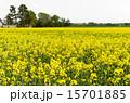 菜の花畑 花 菜の花の写真 15701885