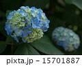 6月 アジサイ 青の写真 15701887