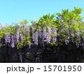 初夏にしだれて咲く紫色の花はフジの花 15701950