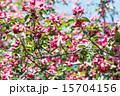 花 春 泉の写真 15704156