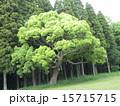 楠の大木が春の葉っぱになっています 15715715