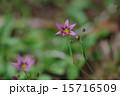 庭石菖 帰化植物 アヤメ科の写真 15716509