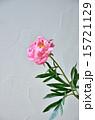 芍薬の花 15721129