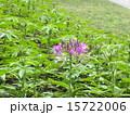 西洋風蝶草 酔蝶花 クレオメの写真 15722006
