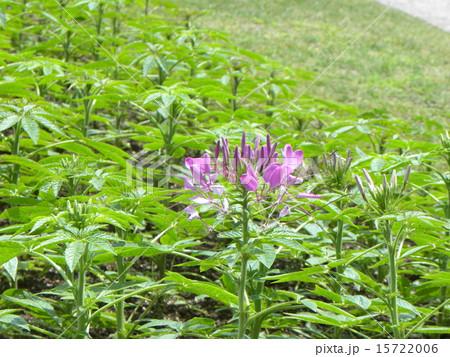 酔蝶花と呼ばれるクレオメの紫色の花 15722006