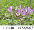 一年草 西洋風蝶草 酔蝶花の写真 15722007