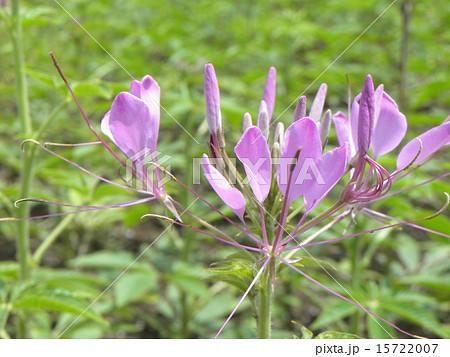 酔蝶花と呼ばれるクレオメの紫色の花 15722007
