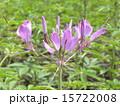 一年草 西洋風蝶草 酔蝶花の写真 15722008
