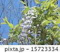 初夏にしだれて咲く紫色の花はフジの花 15723334