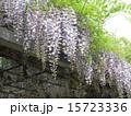 初夏にしだれて咲く紫色の花はフジの花 15723336