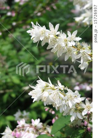 初夏を彩る卯の花 15726937