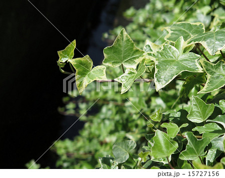 新緑のヘデラ 15727156