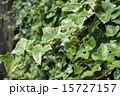 新緑のヘデラ 15727157
