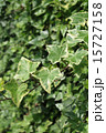 新緑のヘデラ 15727158
