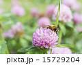 ムラサキツメクサの蜜を吸うハナアブ 15729204