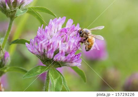 ムラサキツメクサの蜜を集める蜜蜂 15729226