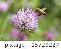 蜂 蜜蜂 紫詰草の写真 15729227