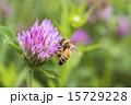 蜜蜂 ムラサキツメクサ 花の写真 15729228