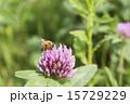 蜜蜂 ムラサキツメクサ 花の写真 15729229