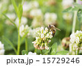 シロツメクサの蜜を集める蜜蜂 15729246