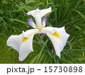 菖蒲ホワイト 15730898