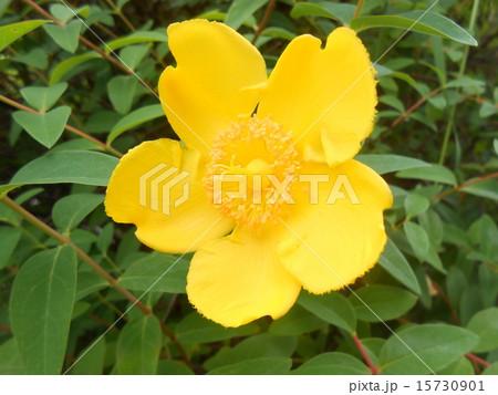 花黄色 15730901