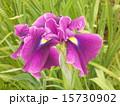 菖蒲紫 15730902