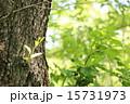 幹 緑 樹木の写真 15731973