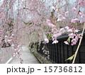 角館・武家屋敷と桜 15736812
