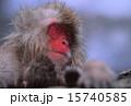 地獄谷野猿公苑 ニホンザル 15740585